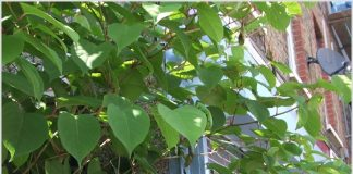 Eliminating the Japanese knotweed