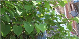 Eliminating the Japanese knotweed